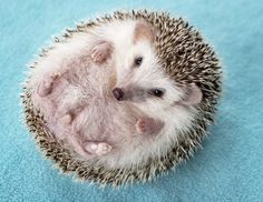 Jennifer and Adam Smith met Pokey the hedgehog through Tru Chance Hedgehog Rescue & Rehab in 2010 and found an animal that definitely needed a second chance.