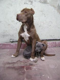 Protective Momma..best dogs EVER to protect your OWN FAMILY!! Always loved pit bulls!!! Perfect for training..OBVIOUSLY. They were trained to be mean & fight..they aren't all born like that.all dogs & people could turn out crazy!...