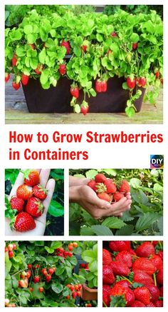How to Grow Strawberries in Containers #gardening #diy