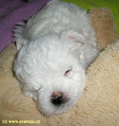 Bessy 12/2011b - Bichon Bolognese / Boloňský psík