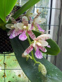 Phalaenopsis japonica (syn. Sedirea japonica). Orchidaceae: Aeridinae. By kavanaru. [x]