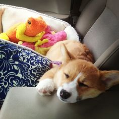 Co-pilot conked out :) #corgi