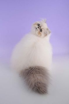 Himalayan cat by Woozles (Flickr).
