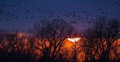 Grous voam ao pôr do sol em sua migração anual para o Ártico, em Nebraska (EUA)