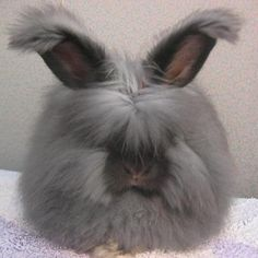 Black English Angora with ear furnishings because of the long hair black looks grey. Whether long hair or short the hair shalt has the same amount of pigment units.