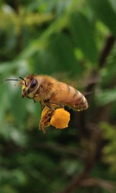 Seasons of Honeybees: Autumn.worker bee with full pollen sacs Beautiful Creatures, Animals Beautiful, Animals And Pets, Cute Animals, Buzzy Bee, I Love Bees, Bees And Wasps, Beautiful Bugs, Bee Art