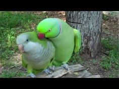A Ringneck Parakeet wants kisses from a Quaker Parrot. The Quaker looks just like my Scooter (who loved kisses).