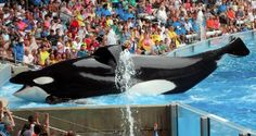 SeaWorld today announced the sad news that the orca, Tilikum, whose story was featured in the award-winning 2013 documentary Blackfish, has died at its Orlando marine park. Blackfish Movie, Blackfish Documentary, Documentary Film, British Airways, Orcas, Best Documentaries On Netflix, Netflix Movies, Magnolia Pictures, Wale