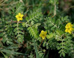 zelena-viagra-kotvicnik-zemni-zvysuje-sexualni-vykonnost-a-libido-snizuje-cholesterol-2