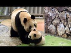 Panda Mama bring her baby パンダ優浜と良浜 アドベンチャーワールド