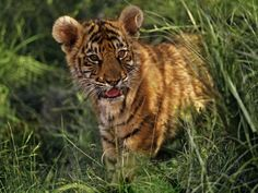 Descubra los esfuerzos de India para asegurar la conservación y el crecimiento del número de tigres de bengala