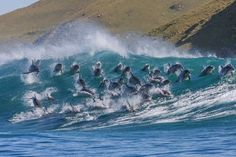 : Pod of 40 dolphins 'surf' 8ft waves in South Africa so cool