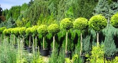 Medium growing Conifers: 3-6 metre range – Privacy, topiary and mixed planting