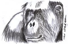 orangutan a carboncillo