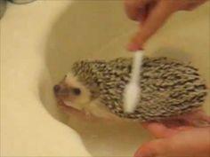 ▶ Hedgehog Bath time - YouTube