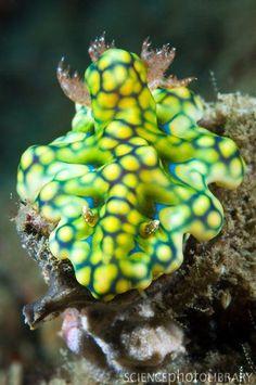 COSMIC MACHINE: Cosmic wonderful nudibranch//