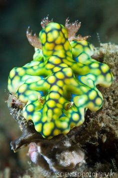 Nudibranchs are shell-less marine molluscs that live in seas around the world. They have external gills (frond-like) that give the nudibranch its name, meaning naked gills. Photographed off Indonesia.