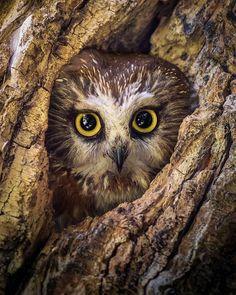 "@lydebug on Instagram: """"I am Groot!"" . . . . . . . . . . . . . . . . . .#sawwhetowl #onlyowls #bird_brilliance #elite_raptors #pocket_animal #_only_raptors…"" Owl Pictures, Nature Pictures, Owl Pics, Wild Photography, Wildlife Photography, Saw Whet Owl, Beautiful Owl, Nature Animals, Wildlife Nature"