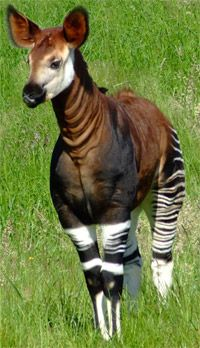 God's creativity never ceases to amaze me. The okapi (pronounced /oʊˈkɑːpiː/), Okapia johnstoni, is a giraffid artiodactyl mammal. Native to Central Africa. Although the Okapi bears striped markings reminiscent of zebras, it is most closely related to the giraffe.