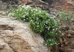 Jacquemontia pringlei – Pringle's Clustervine - Southeastern Arizona Wildflowers and Plants