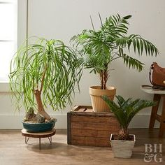 Popular since the Victorian era, parlor palm, Chamaedorea elegans, is a slow-growing Mexican native that does well in low-light situations. It grows 4 feet tall and makes a bold statement in any room. Indoor Palms, Indoor Plants Low Light, Best Indoor Plants, Easy Care Houseplants, Small Palms, Palm Plant, Iron Plant, Palmiers, Unusual Plants