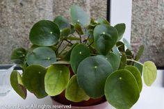 Peperomia polybtrya (Coin Leaf Peperomia)