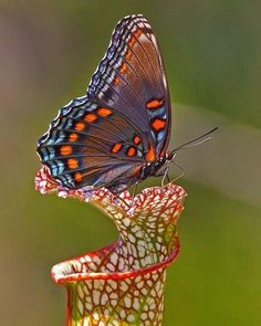 """""""Red-spotted Purple butterfly Amazing World beautiful amazing"""" Papillon Butterfly, Butterfly Kisses, Purple Butterfly, Butterfly Flowers, Butterfly Wings, Flowers Garden, Beautiful Bugs, Beautiful Butterflies, Beautiful Flowers"""