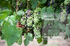 Stock Photo : Grapes in a vineyard in Talagante, Chile