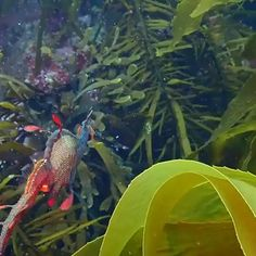 Marine Dragon filmed on the east coast of Tasmania, Australia. Marine Dragon filmed on the east coast of Tasmania, Australia. Beautiful Sea Creatures, Animals Beautiful, Cute Animals, Weedy Sea Dragon, Image Originale, Underwater Creatures, Wale, Sea And Ocean, Nature Animals