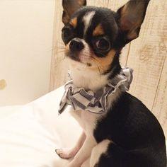 NICE #チワワ#ちわわ#スムチ#スムチー#スムースチワワ#chihuahua #instadog #instachihuahua #dogoftheday #baby #cute #子犬 #ブラックタン #ブラタン #ブラックタンアンドホワイト #愛犬 #チワワ部 #癒しワンコ#치와와