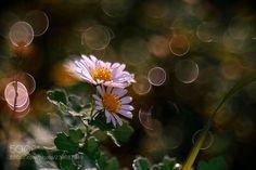 Flowers (Aki / Amagasaki / Japan) #ILCE-7 #macro #photo #insect #nature