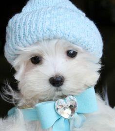 Teacup Maltese Puppie
