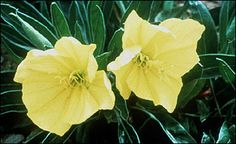 The Missouri primrose is a native wildflower well adapted to home landscapes.