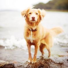 I think I've discovered what my dog is mixed with, a Nova Scotia Duck Tolling Retriever. This looks like a lighter version of my Bailey Boy, such a beautiful dog!