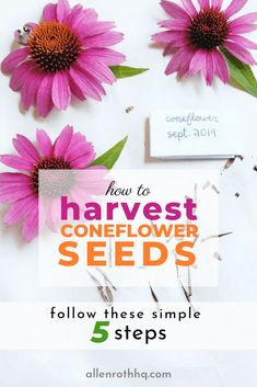 to Harvest Echinacea Seeds 2019 5 steps to harvest coneflower (echinacea) seeds steps to harvest coneflower (echinacea) seeds infographic