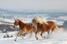 gelsomina – Animals – Horses gallop in the snow – Bird Haflinger Horse, Akhal Teke Horses, Friesian Horse, Appaloosa, Palomino, All The Pretty Horses, Beautiful Horses, Majestic Horse, Cutest Animals