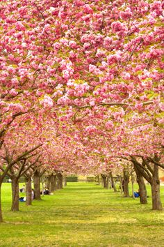 Definitely having a Cherry Blossom tree at our DREAM house Beautiful World, Beautiful Places, Beautiful Pictures, All Nature, Amazing Nature, Mother Earth, Mother Nature, Love Flowers, Beautiful Flowers