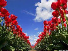 Resultado de imagen de tulip