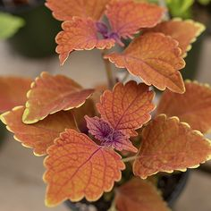 colourful coleus for your garden by West Coast Gardens