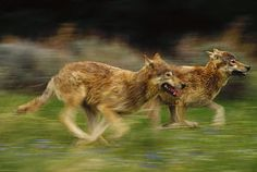 Timber Wolf (Canis lupus) pair running, temperate North America