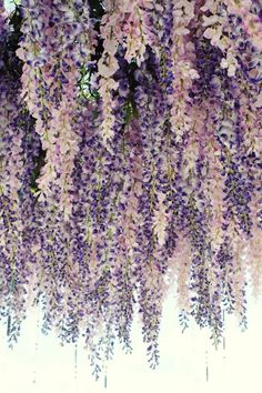 Lavender Wedding Color Palette - Would be beautiful hanging from the entrance. Hanging wisteria floral ceiling in lavender and blush. Lavender Wedding Colors, Lavender Flowers, Lavender Color, Lavender Weddings, Cascading Flowers, Lavender Ideas, Colorful Roses, Purple Wedding Themes, Purple Wedding Dresses