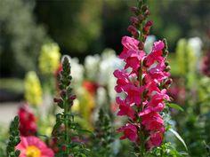 Bild der rosa Blüten von einem Grossem Löwenmaul