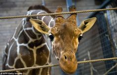 """""""If giraffes had human zoos, how many of us would be considered surplus? Or genetically unnecessary?"""" Jeffrey Masson on zoo ethics and the killing of Marius the giraffe. (http://jeffreymasson.wordpress.com)."""