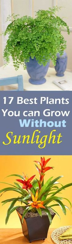 Do you have place in your house that don't receive direct sun or do you want to grow plants in your living room, dining room or bath room? Luckily there are plants that grow without sunlight and you can grow them indoors.