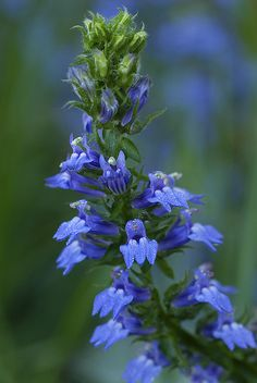 Great Lobelia - also known as cardinal flower