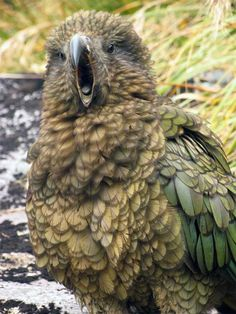 """You're a real yawn."" Kea female, Marrington Peaks Fiordland National Park. Photo: Herb Christophers #nzbirds"