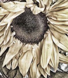 All good things come to an end, even a sunflower. Sunflowers And Daisies, Sun Flowers, Dried Flowers, Art Aquarelle, Estilo Hippie, Fresh Farmhouse, Tinta China, Soft Autumn, Autumn Fall