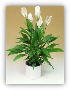 Tölcséres virágú szobanövények