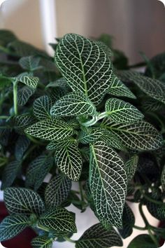 I'm needing more indoor pet safe plants... great post!  this is a fittonia nerve plant