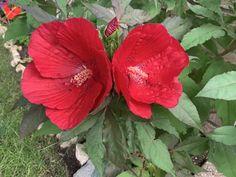 Hibiscus Midnight Marvel - Shrub | Spring Hill Nurseries Hibiscus Bush, Spring Hill Nursery, Nurseries, Shrubs, Bloom, Marvel, Purple, Plants, Colour